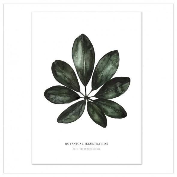 Affiche - Schefflera Arboricola